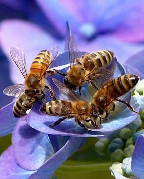 تربية النحل بالصحراء