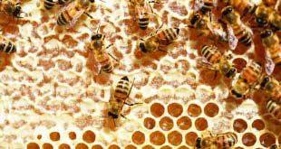 الملتقى الوطني الثالث لتربية النحل بالصحراء من 17 إلى 24 ديسمبر 2011