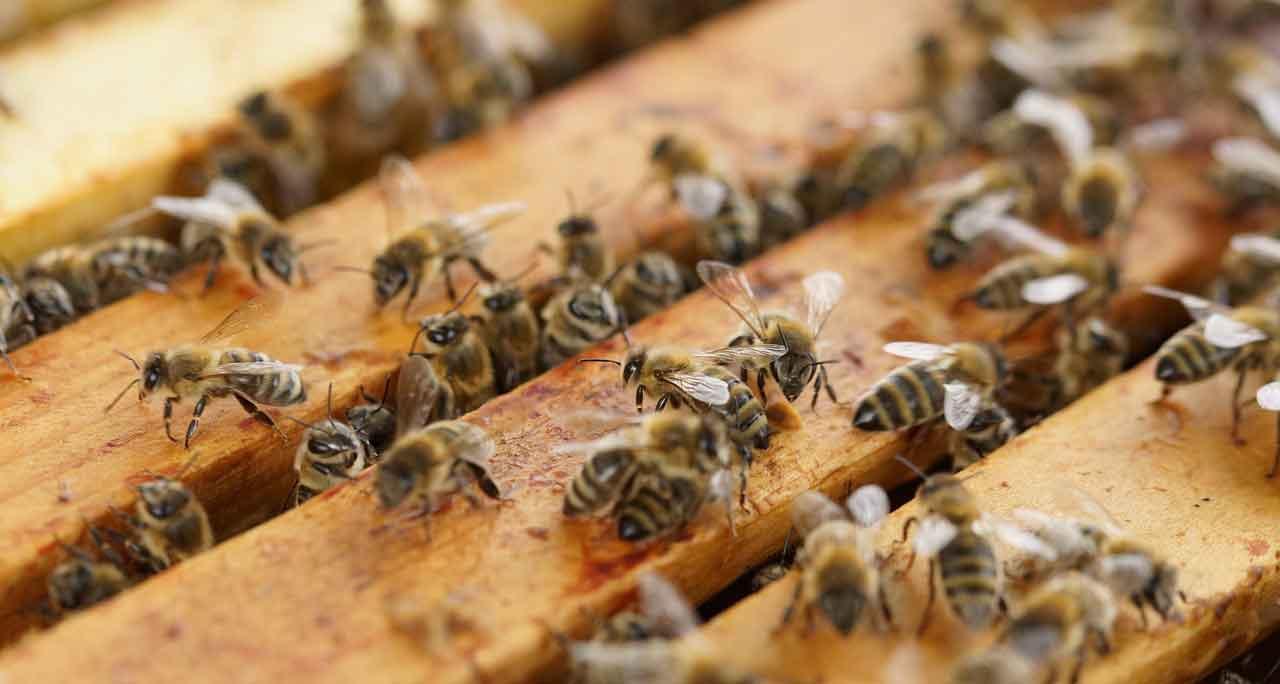 معرض العسل بمدينة قمار