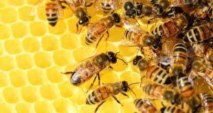 الملتقى الوطني الثاني لتربية النحل بالصحراء من 19 إلى 28 ديسمبر 2019